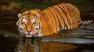 thumb3_big_tiger_5
