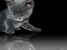 thumb3_russian_blue_kitten
