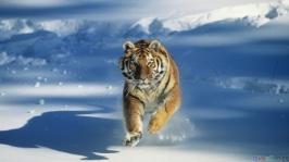 thumb3_tiger_snow