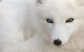 thumb3_white_fox_with_blue_eyes